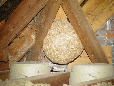 Wasp nest found during survey