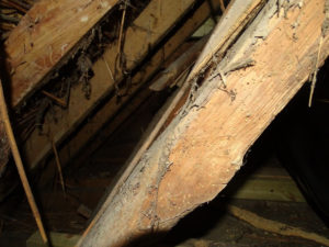 Woodworm in the rafters